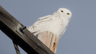Snowy Owl south of Armena, Alberta, by Jim McDougall.