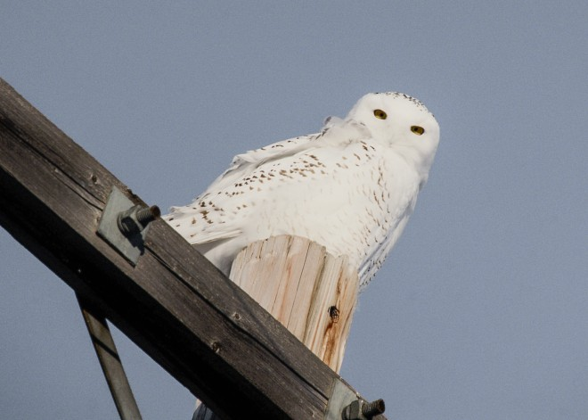 Snowy Owl south of Armena, Alberta, by Jim McDougall.