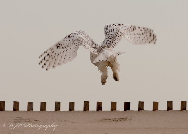 Snowy Owl Bill