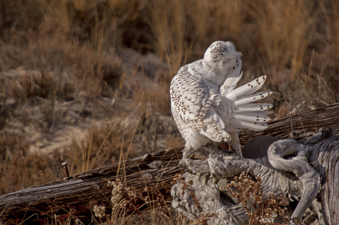 Snowy Owl Chris Hatch