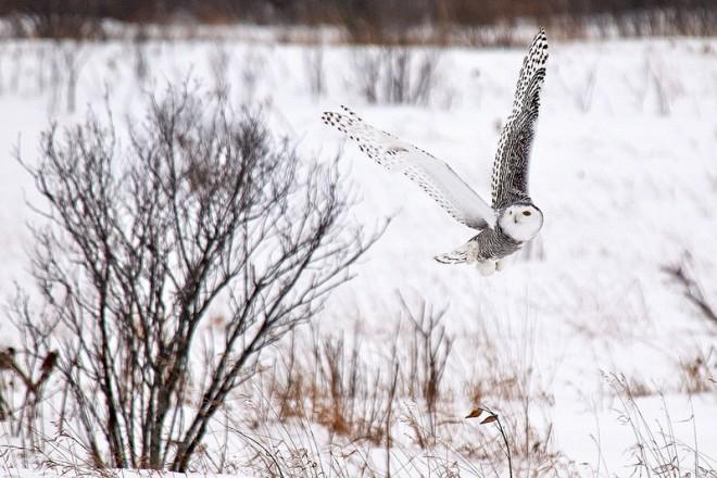 Snowy Owl Dever Villeneuve
