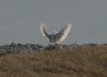 Snowy-Owl-Dgetman-Macon-MO