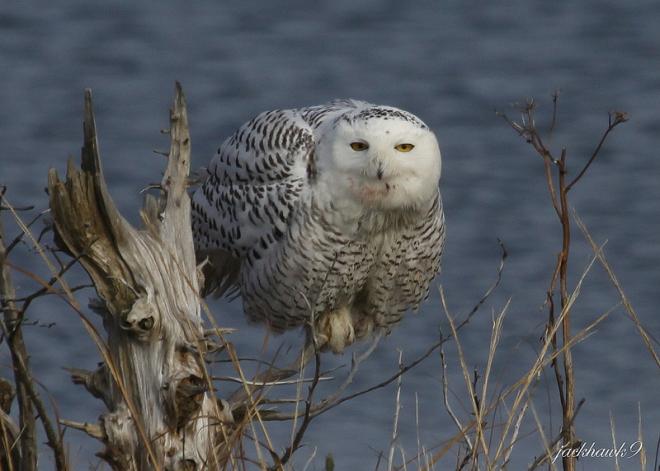 Snowy Owl Jackhawk