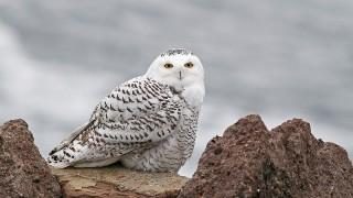 Snowy Owl Jared Clarke