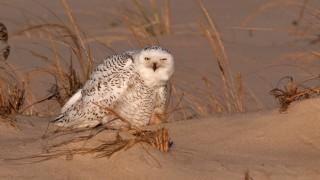 Snowy Owl ©2013 Chuck Fullmer