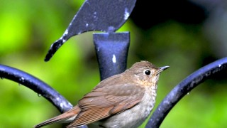 Swainsons-thrush-May-2011