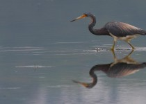 TRI-COLORED-HERON7
