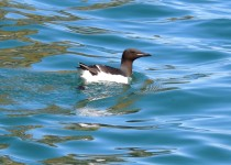 Thick-billed-Murre-01