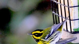 Townsends-warbler-at-suet