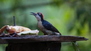 WoodpeckerBC.-HI-7507-38