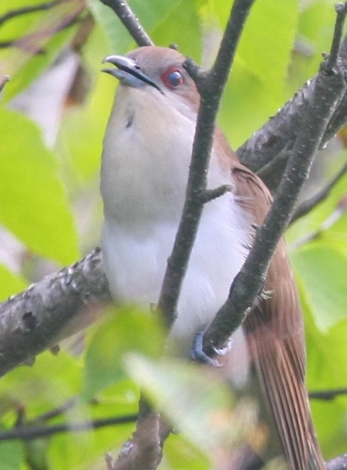 aaBlack-billed-Cuckoo