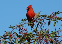 cardinal-in-treetop