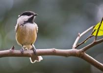 cute-chickadee
