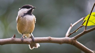 cute-chickadee