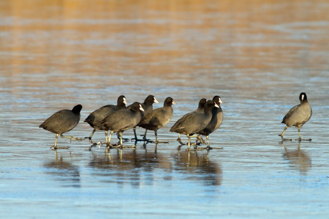 flock-of-coots-searching-for-open-waters-on-frozen-lake
