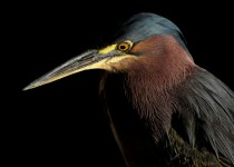 green-heron-2013
