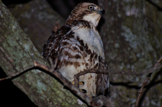 red-tailed-hawk-2