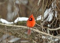redbird6