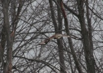 rough-legged-hawk-04