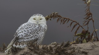 snowy-owl-5c