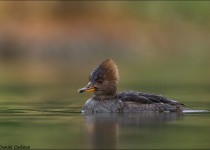 tn_Hooded-Merganser_0236-1