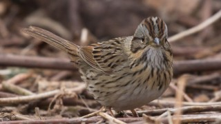 Lincoln's Sparrow in Duluth, Minnesota, by Laura Erickson.