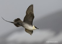 Long-tailed Jaeger, Nome, Alaska