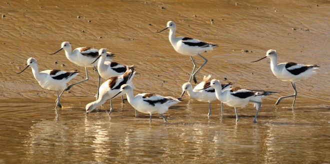 American-avocets-group-RS