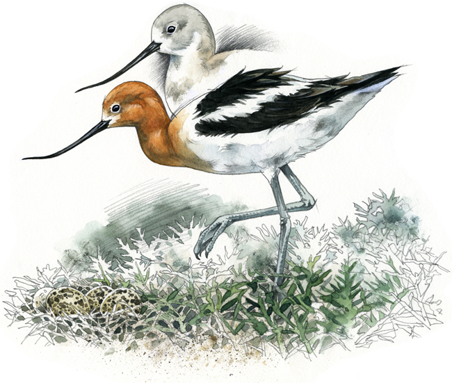 American Avocet by Rob Mancini.