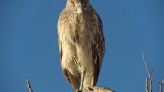Black-crowned-Night-Heron-06-1