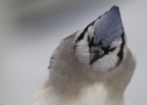 Blue-Jay-in-Snow