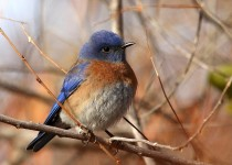 Bluebird-Western-2014-01-10-176
