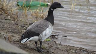 Brant-Goose.Inner-Harbor
