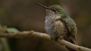 Calliope-Hummingbird-resting