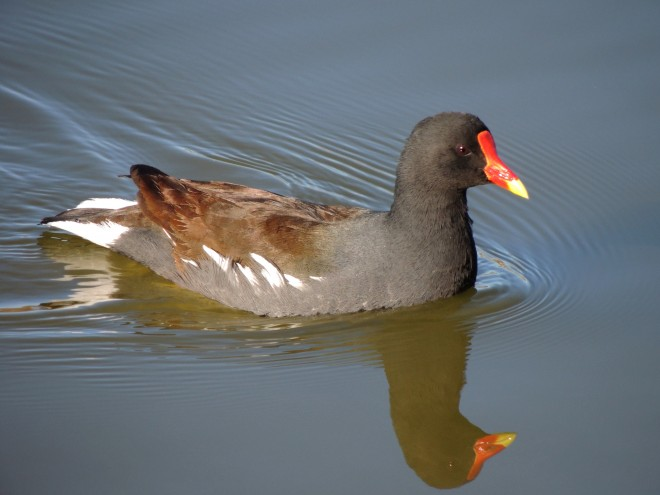 Common-Gallinule-01-1