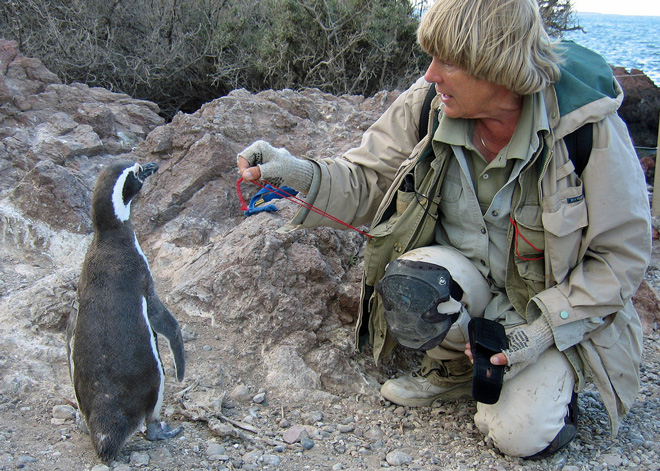 DBoersma-and-penguin