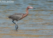 DSC_0907-Reddish-Egret
