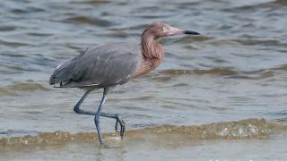DSC_9797-Reddish-Egret