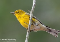 DSC_9907-Pine-Warbler