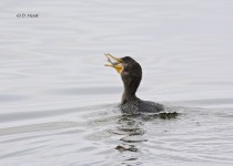 Double-crested-Cormorant-with-catch