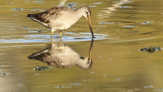 Dowitcher-Long-billed-2013-11-01-206