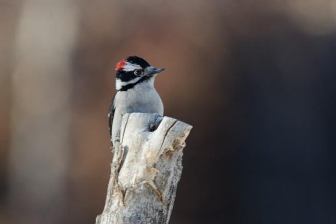 Downy-Woodpecker-2