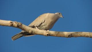 Eurasian-Collared-Dove-03-1