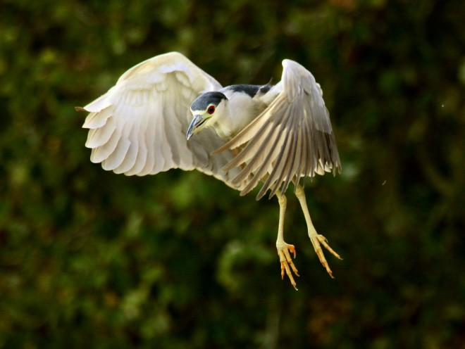 Excited-Black-Crowned-Night-Heron