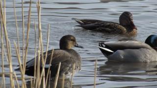 Gadwall-plumage-study