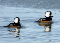 Hooded-Mergansers