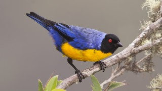 Hooded-mountain-tanager