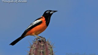 Troupial of Aruba