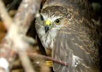 Juvenile-Redtail-Hawk-in-the-Habitat-Rescue-12-20131