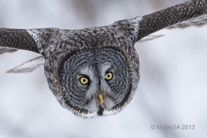 Great Gray Owl by mayhaga.